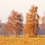 Herbstliche Birken vor gemähtem Spargelfeld