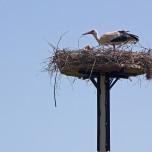 Storchennest mit Storch in Birkenhorst