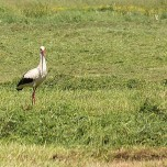 Storch auf gemähter Wiese
