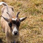 Neugierige Ziege in Beelitz