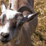 Verfressene Ziege in Beelitz