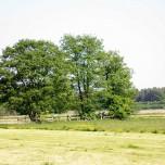 Baumgruppe auf den Wiesen an der Nieplitz