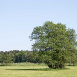 Solitär stehender Baum auf den Wiesen an der Nieplitz