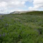 Lupinenfeld auf Lavaboden in Island