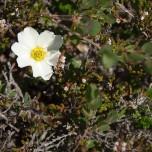 Kleine Blüte in Island