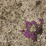Anspruchslose Pflanze auf kargem Boden in Island