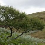 Sehr einsamer Baum in Island