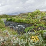 Arznei-Engelwurz in Island