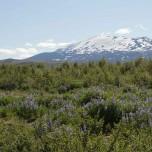 Vulkan Hekla und Lupinen