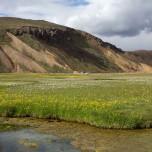Blühende Wiese in Landmannalaugar in Island