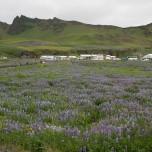 Lupinenfeld mit Blick auf Vik i Myrdal