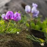Schmetterlingsblütler auf Island