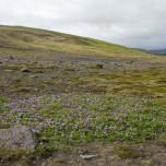 Bunter Blütenteppich auf der Halbinsel Dyrhólaey an der Südküste von Island