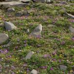 Bunter Blütenteppich auf der Halbinsel Dyrhólaey