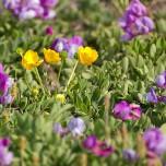 Gelbe und lila Blütenpracht auf Dyrhólaey