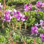 Schmetterlingsblütle auf Dyrholaey