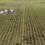 Drei Kraniche auf einem Feld