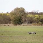 Zwei Graue Kraniche auf grünem Feld bei Linum