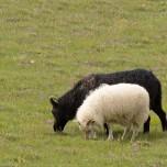 Schwarzes Schaf und weißes Schaf