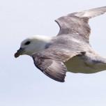 Fliegender Eissturmvogel von der Seite fotografiert