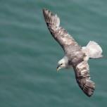 Eissturmvogel von oben fotografiert