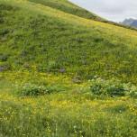 Bunte Wiese auf dem Vogelfelsen Reynisfjall