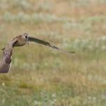 Anfliegender Großer Regenbrachvogel auf Island