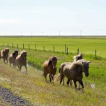 Islandpferde am Straßenrand II