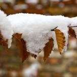 Schneezweig