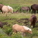 Islandpferde II