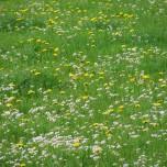 Blühende Wiese