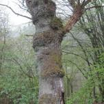 Bemooster Baum 1