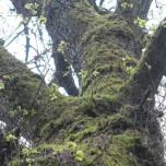 Bemooster Baum 2