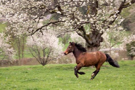 Pferd vor blühenden Kirschen