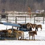 Przewalski-Pferde in der Döberitzer Heide I