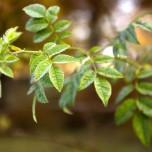 Noch grüne Blätter