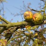 Alte Äpfel