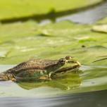Einzelner Frosch II