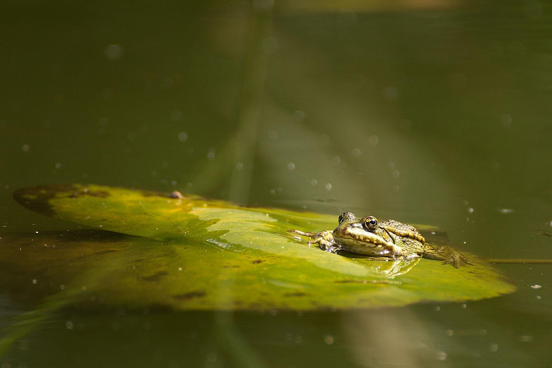 Geheimnisvoller Frosch