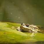 Einzelner Frosch III