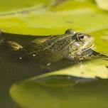 Einzelner Frosch VI