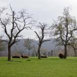 Kirschbäume & Schafe