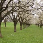 Kirschenplantage V