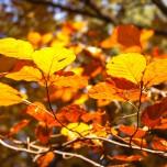 Herbstliche Buche, Detail I