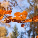 Herbstliche Buche, Detail II