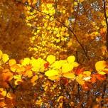 Herbstliche Buche, Detail III