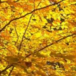 Herbstliche Buche, Detail IV