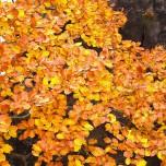 Herbstliche Buche, Detail VI
