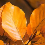 Herbstliche Buche, Detail VII