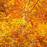 Herbstliche Buche I